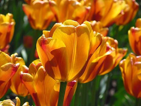 Alfred Ng - orange tulip