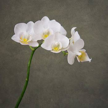 Orchid 1 by Mary Hershberger