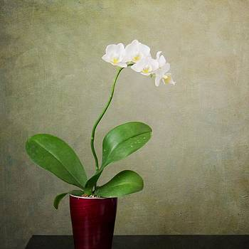 Orchid 2 by Mary Hershberger