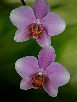 Orchid Delight by Adele Moscaritolo