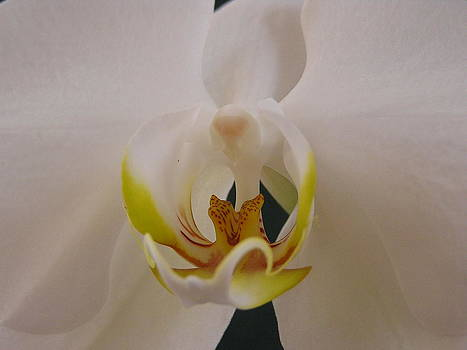 Orchid by Diane Frick