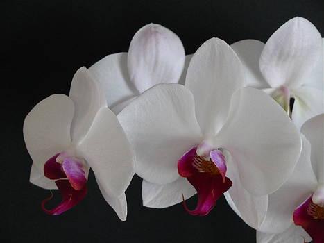 Orchid by Rhonda Jones