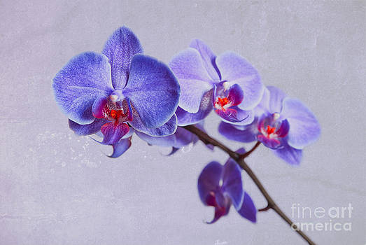 Hannes Cmarits - orchid violet pink