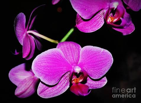 Orchids by Kristie Hayes-Beaulieu
