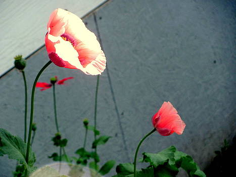 Oriental Pink Poppies  by Amy Bradley