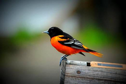Oriole by April  Robert