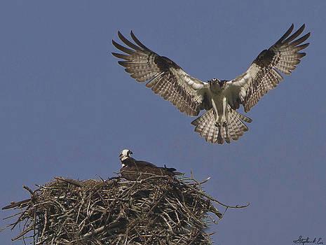 Osprey at Beavertail by Stephen EIS