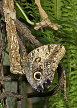 Michael Peychich - Owl Butterfly 3744