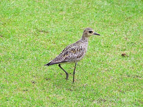 Mary Deal - Pacific Golden Plover - 1