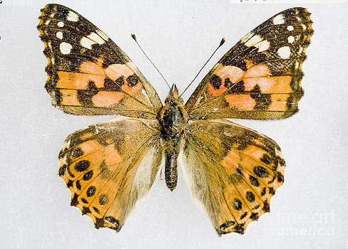 Painted Lady Vanessa cardui by Mary C Legg