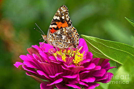 Byron Varvarigos - Painted Lady With Zinnia