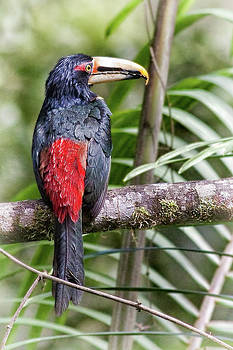 Pale Mandibled Aracari by Ecuador Images