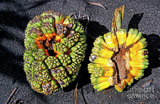 Sami Sarkis - Pandanus fruit