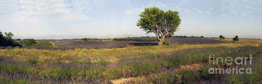 Sami Sarkis - Panoramic view of a tree in lavender field