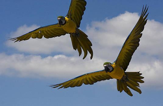 Parrot couple by Andre Van der Hoeven