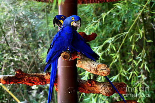Parrots by Kelly Christiansen