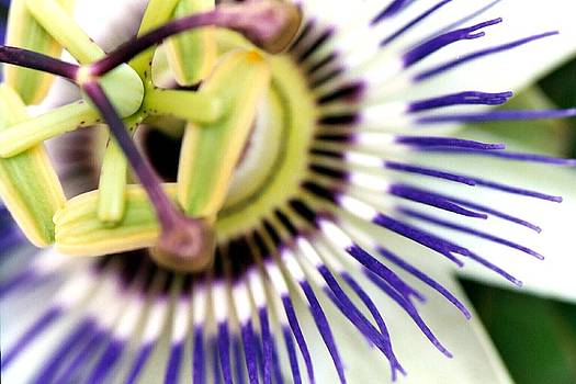 Passion Flower 2 by Shiladitya Sinha