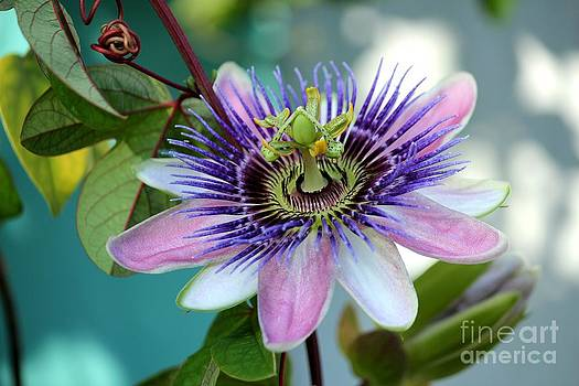 Passion Flower by Theresa Willingham