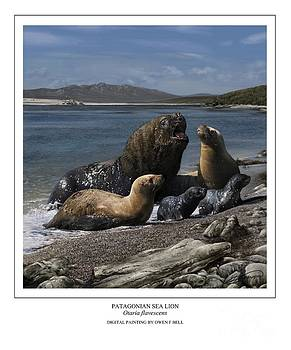 Patagonian Sea Lion Bull With Harem And Pups by Owen Bell