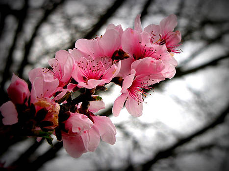 Peach blooms by Mary Siniard
