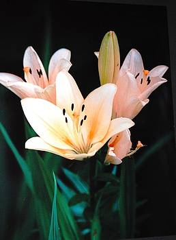 Peach Lily  by Paul Thomley