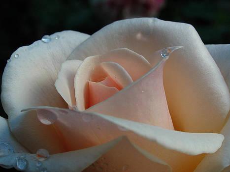 Juergen Roth - Peach Rose