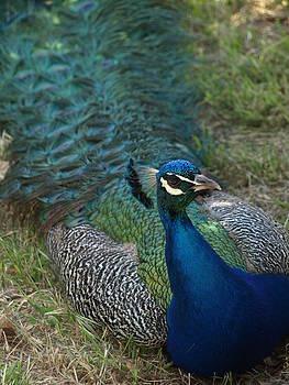 Debi Ling - Peacock