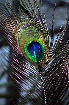 Daryl Macintyre - Peacock Feather l