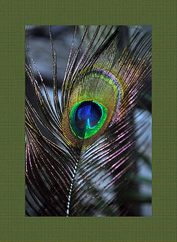 Daryl Macintyre - Peacock Feather ll