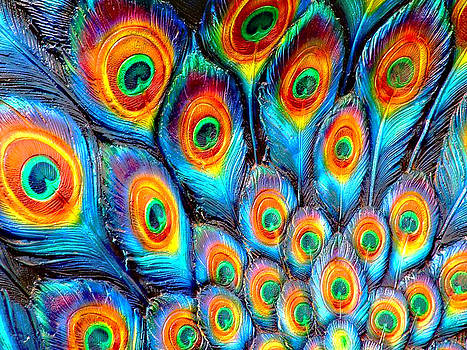 Peacock Feathers by Helen Stapleton