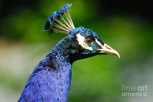 Peacock Portrait by John Kelly