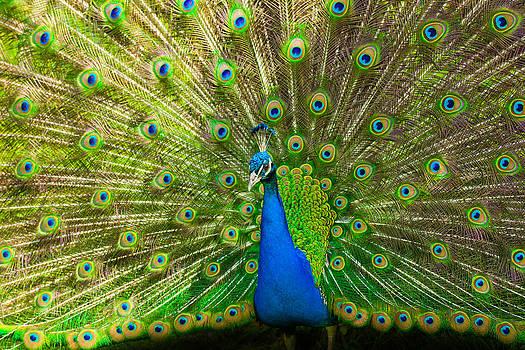 Peacock wheel by Thomas Splietker