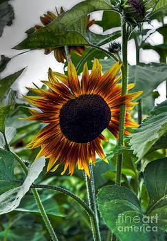 Brenda Giasson - Peek a Boo Sunflower