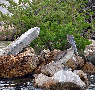 Pelican by Ken  Collette