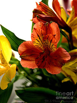 Peruvian Lily by Melissa Nickle