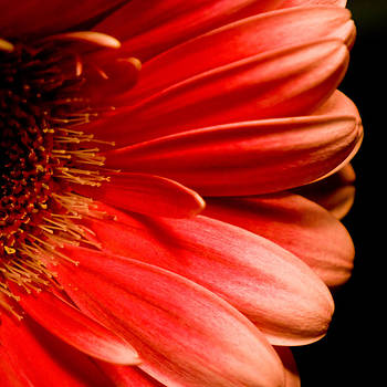 Petals by Peggie Strachan