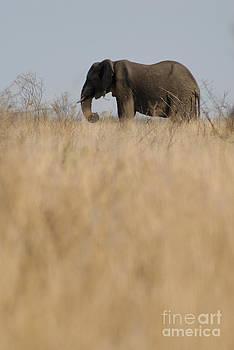 Sami Sarkis - Photo of african Elephant