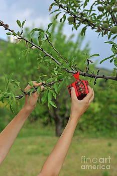 Sami Sarkis - Picking wrapped gift box from tree