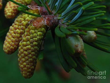 Juergen Roth - Pine Cone