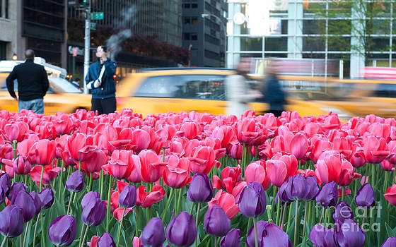 Pink and purple tulips in the city by Darwin Lopez