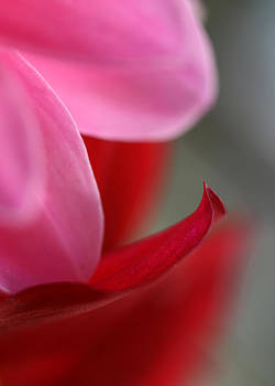 Pink And Red Petals by Joan Powell