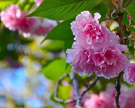 Pink Blossom by Lori Kesten