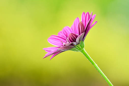 Pink Chrysanthemum on Yellow background by Hegde Photos