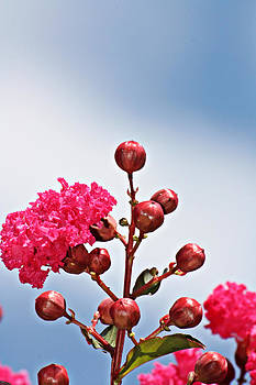 KayeCee Spain - Pink Crape Myrtle- Fine Art Photography