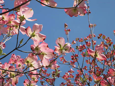 Pink Dogwood by Jason Zhang