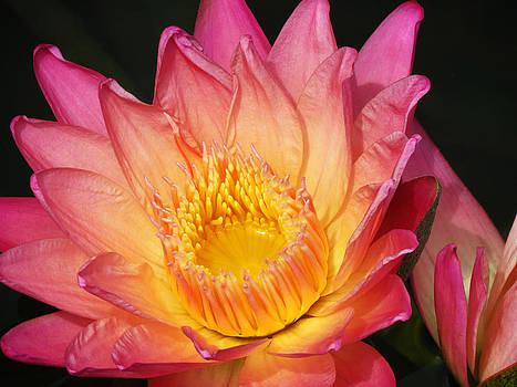 Pink Lily5 by Vijay Sharon Govender