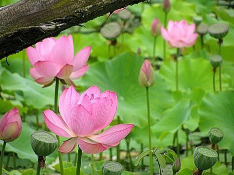 Alfred Ng - pink lotus