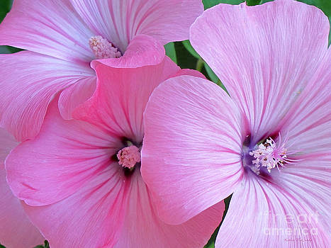 Pink Mallow Garden by Kathie McCurdy