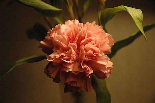 Pink Marigold Flower by Rafael Figueroa