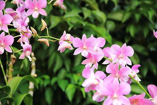 Pink Orchid by Rahul Manglekar